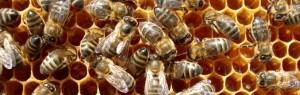наши костромские пчелы