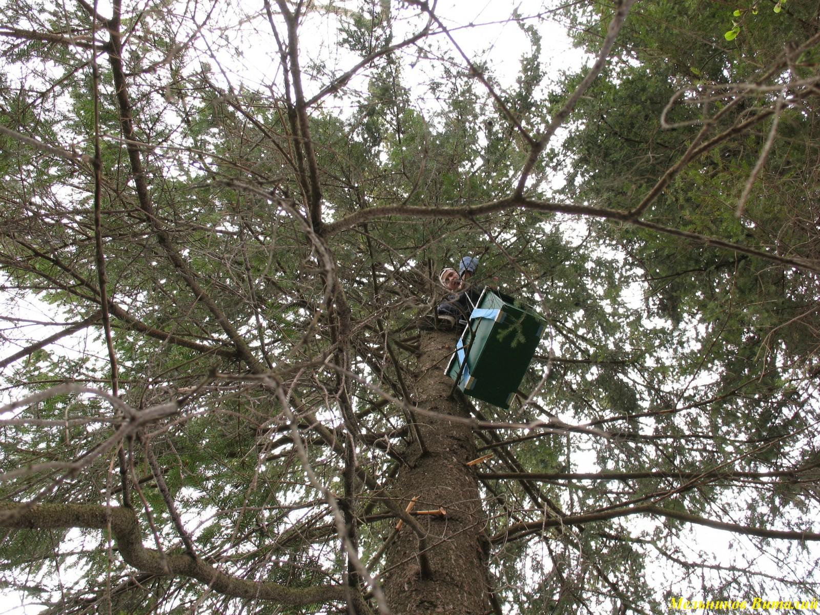 подъем ловушки на дерево