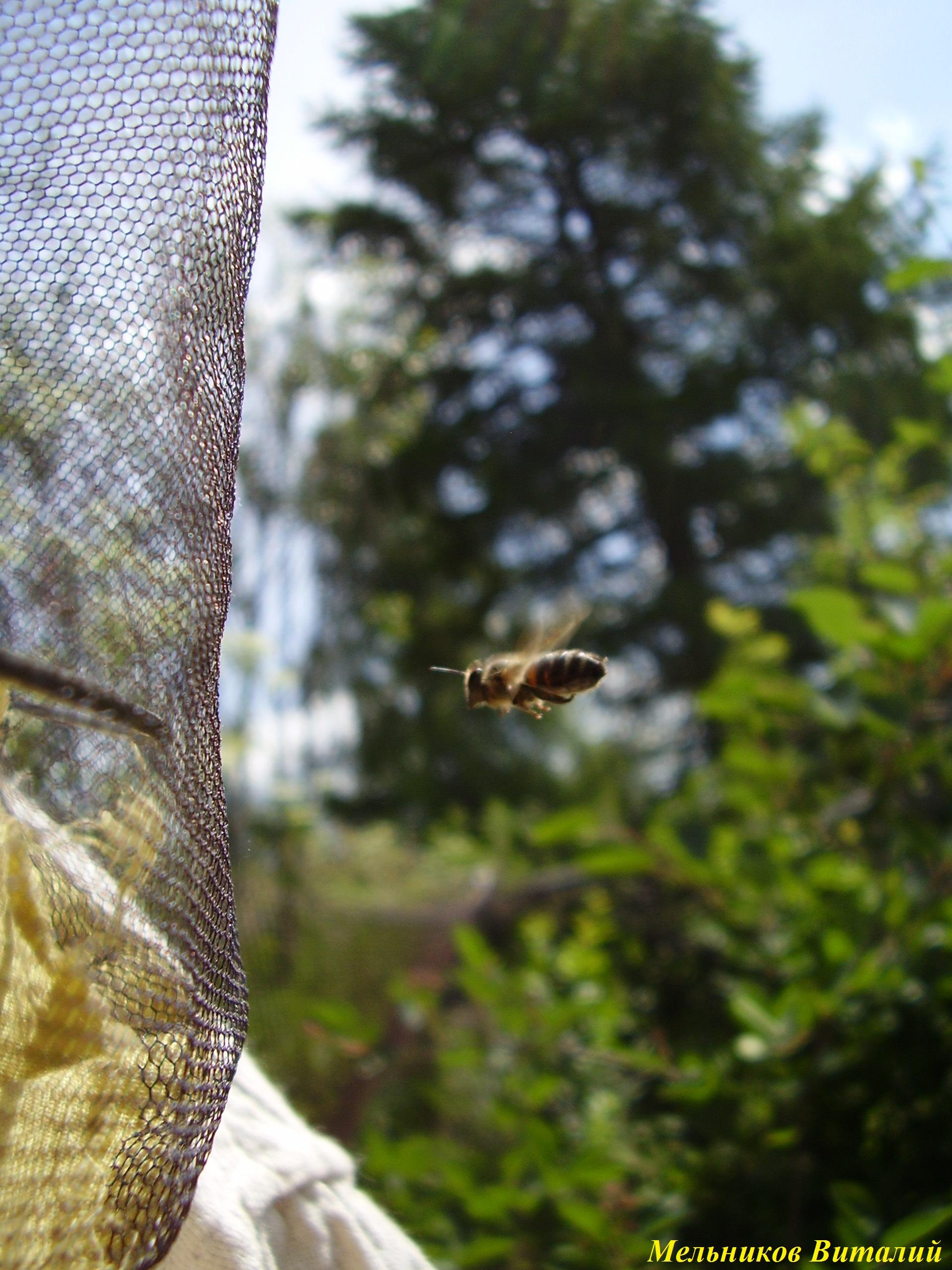 интерес пчел к ловушке