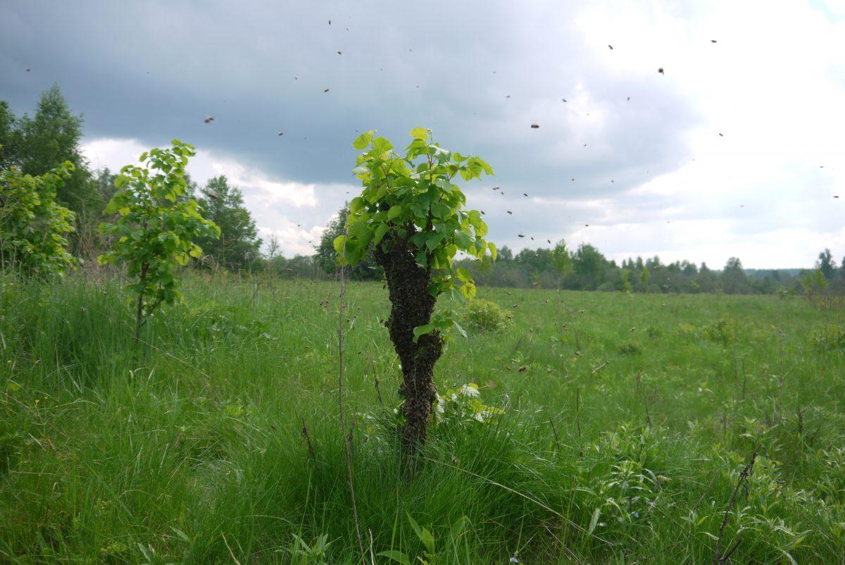 роение пчел на пасеке