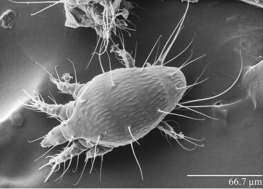 клещ под микроскопом