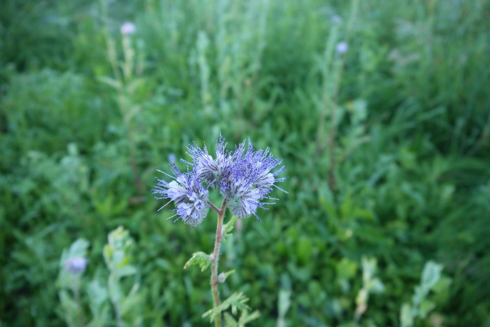 цветы фацелии
