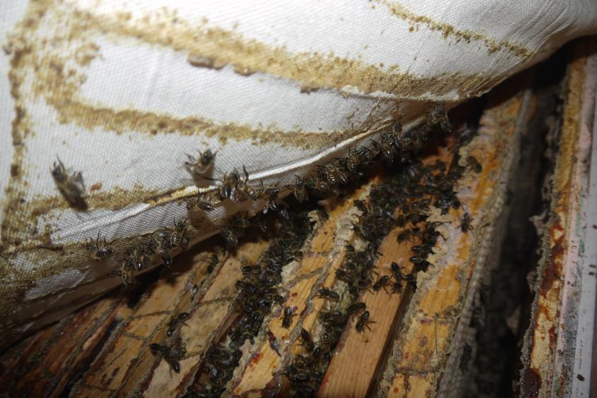 клуб пчел зимующий в зимовнике